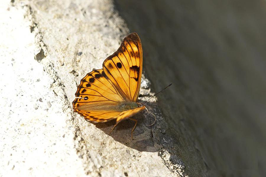 在地原生種:金鎧蛺蝶